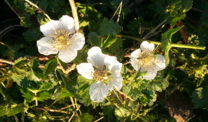 Blackberry Flower - HDG Landscape Design