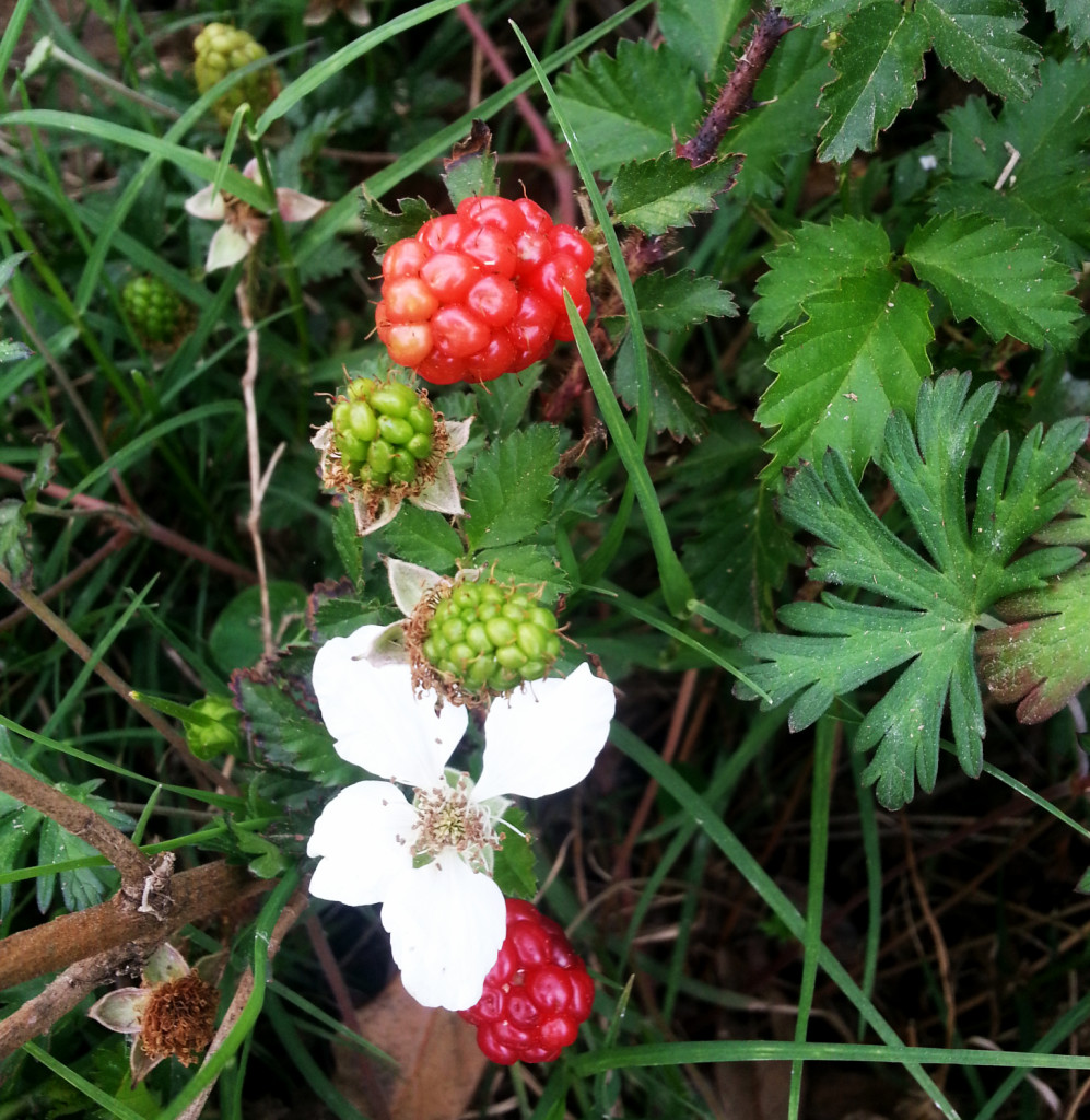 Blackberry Plant - HDG Landscape Design