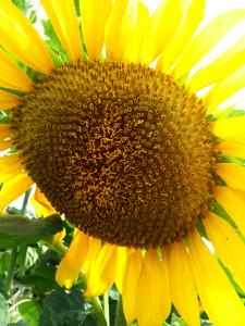 Mammoth Sunflower - HDG Landscape Design
