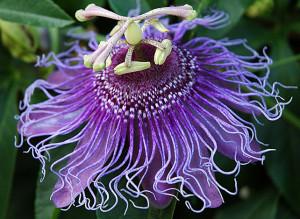 Passion Flower Vine - HDG Landscape Design